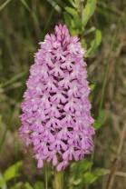 Pyramiden-Hundswurz / Pyramidal orchid / Anacamptis pyramidalis