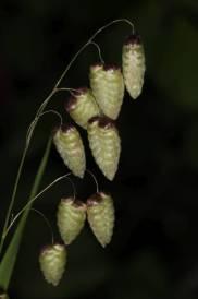 Großes Zittergras / Big quaking grass, Large quaking grass, Blowfly grass, Rattlesnake grass, Shelly grass, Rattle grass, Shell grass / Briza maxima