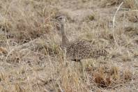 Rotschopftrappe / Red-crested Bustard / Lophotis ruficrista