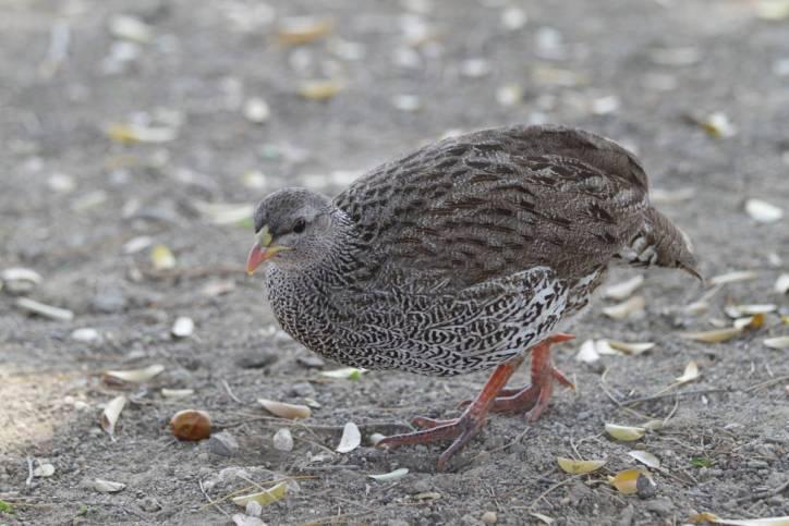 Natalfrankolin / Natal spurfowl, Natal francolin / Pternistis natalensis