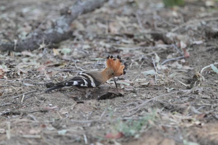 Wiedehopf / Eurasian hoopoe / Upupa epops