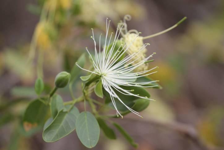 Kapernstrauch / Caper bush / Capparis spinosa