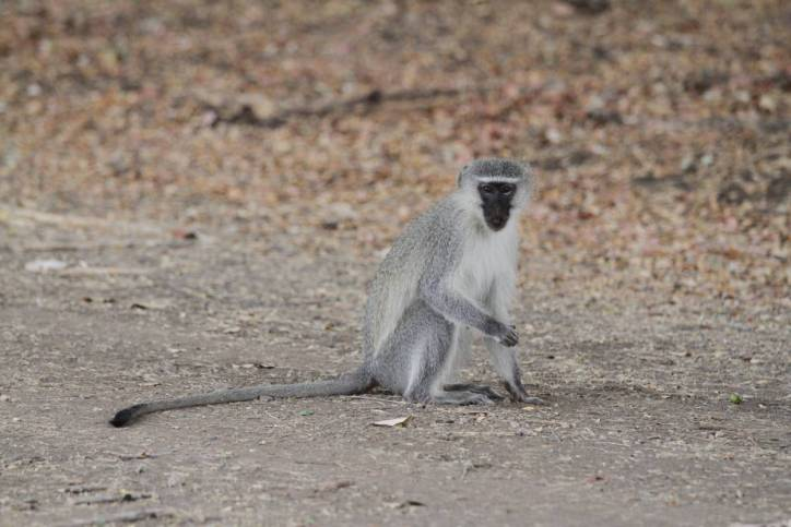 Südliche Grünmeerkatze / Vervet monkey / Chlorocebus pygerythrus