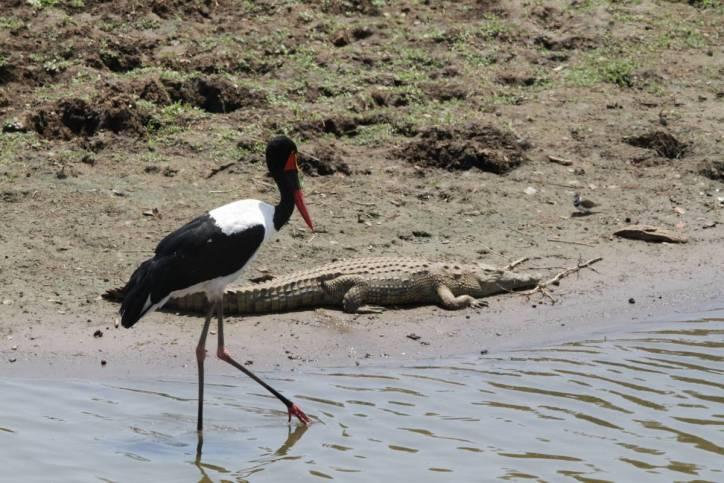 Sattelstorch / Saddle-billed stork / Ephippiorhynchus senegalensis