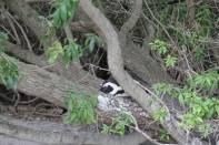 Brillenpinguin / African Penguin / Spheniscus demersus