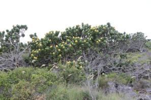 Leucospermum muirii