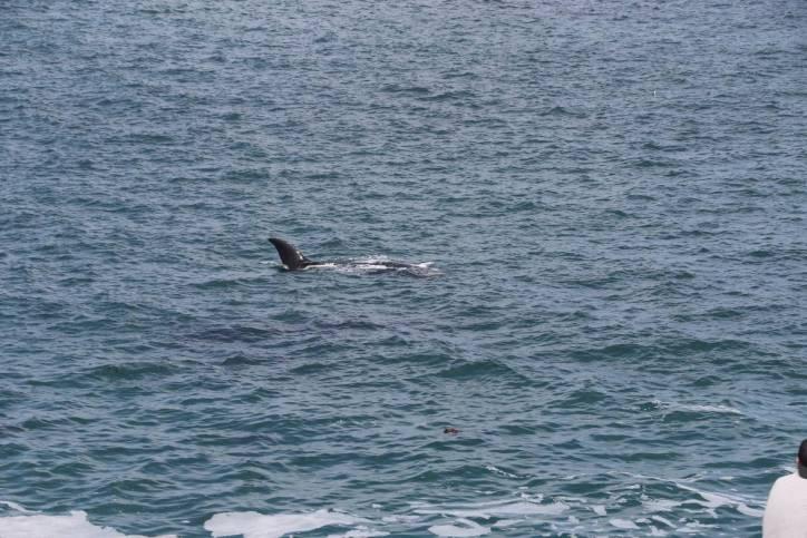Südkaper, Südlicher Glattwal / Southern Right Whale / Eubalaena australis