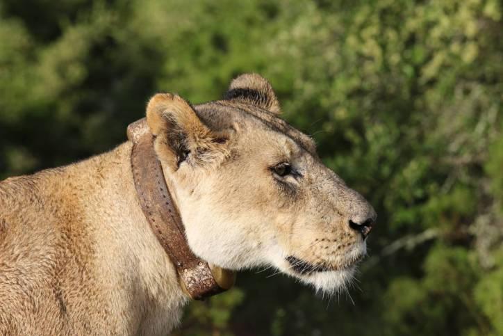 Löwin mit Senderhalsband