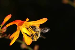 Garten-Montbretie / Crocosmia / Crocosmia x crocosmiiflora