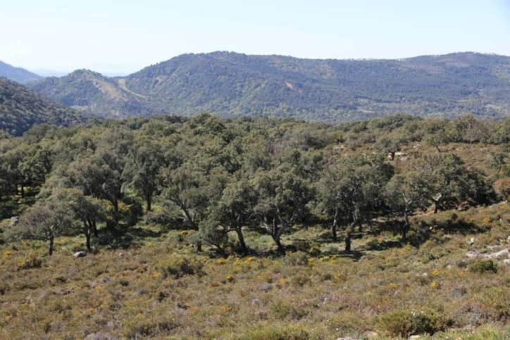 Korkeichenwald