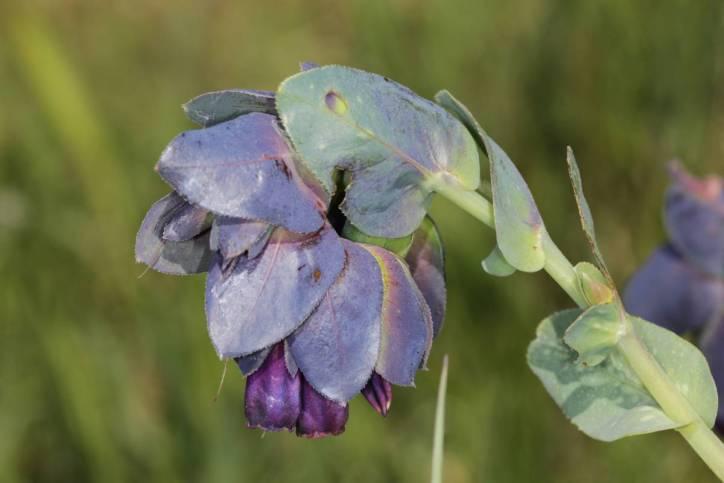 Große Wachsblume / Cerinthe major
