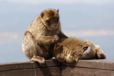 Berberaffe / Barbary Macaque, Barbary ape / Macaca sylvanus