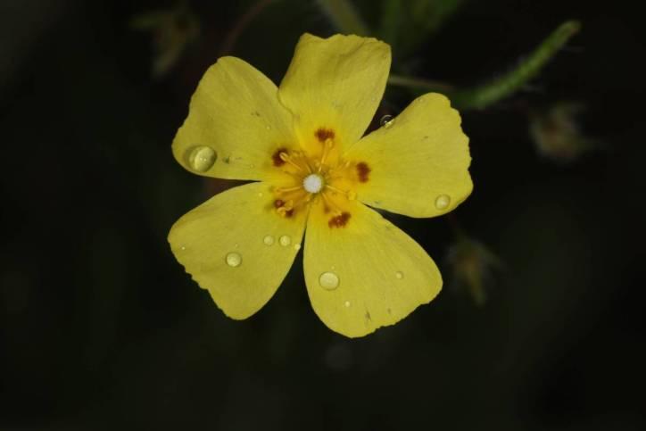 Geflecktes Sandröschen / Spotted rock-rose, Annual rock-rose, European frostweed / Tuberaria guttata