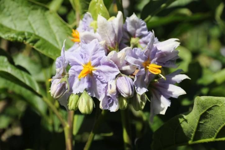 Kartoffel / Potato / Solanum tuberosum ?