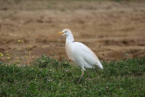 Kuhreiher / Cattle Egret / Bubulcus ibis