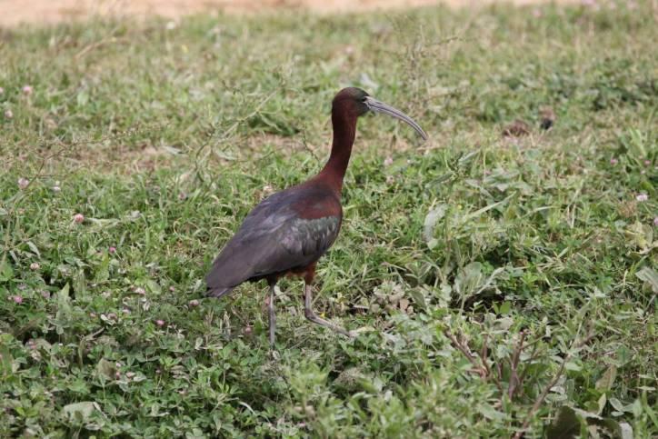 Brauner Sichler / Glossy ibis / Plegadis falcinellus