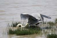 Graureiher / Grey Heron / Ardea cinerea