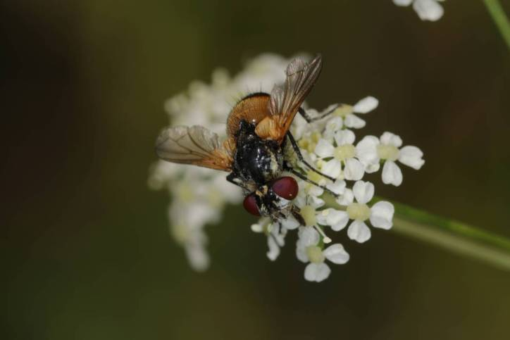 Raupenfliegen, Schmarotzerfliegen / Tachina flies, Bristle Flies, Tachinids / Tachinidae