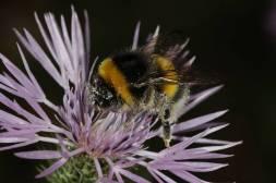 Hummel / Bumblebee / Bombus sp.