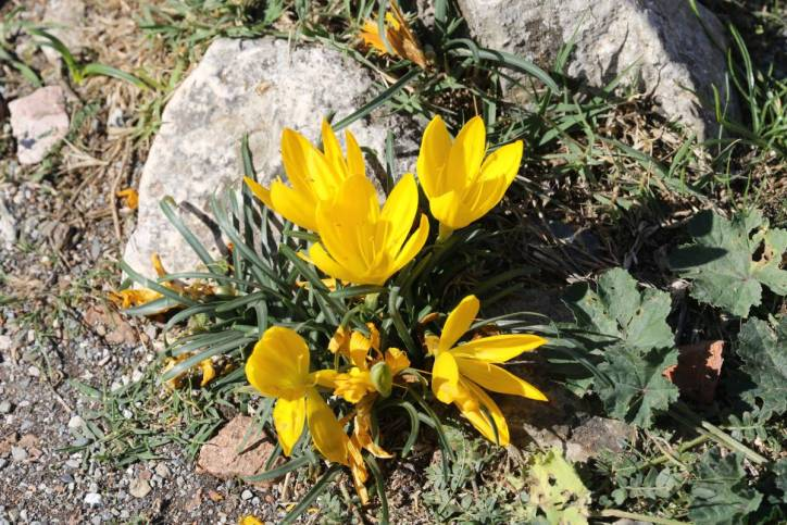 Herbst-Goldbecher / Winter daffodil / Sternbergia lutea