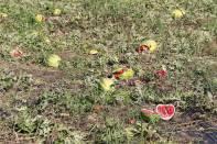 Wassermelone, Tsamma-Melone / Watermelon / Citrullus lanatus