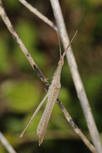 Gewöhnliche Nasenschrecke / Cone-headed grasshopper, Nosed grasshopper, Mediterranean slant-faced grasshopper / Acrida ungarica, Acrida cypria