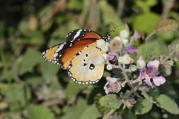 Kleiner Monarch, Afrikanischer Monarch / African Queen, Plain Tiger / Danaus chrysippus