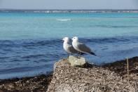 2 Korallenmöwen auf Stein