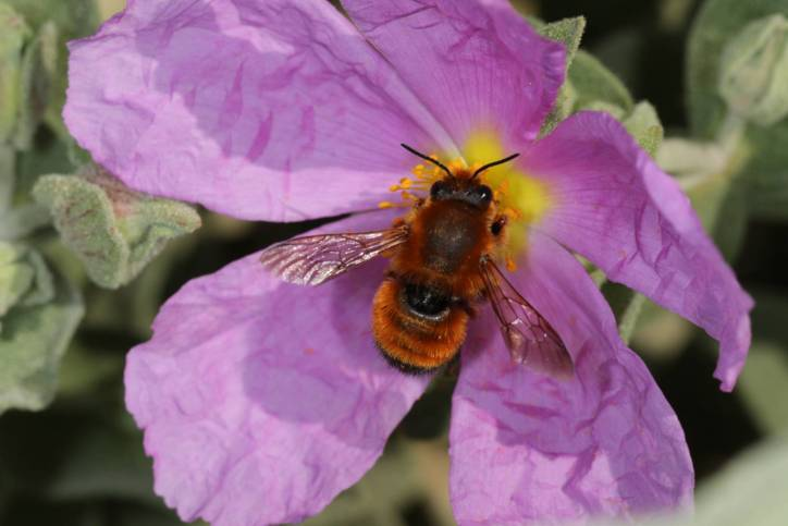 Megachile sicula auf Zistrosenbüte