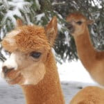 Moses and Lexus, Rich's alpacas.