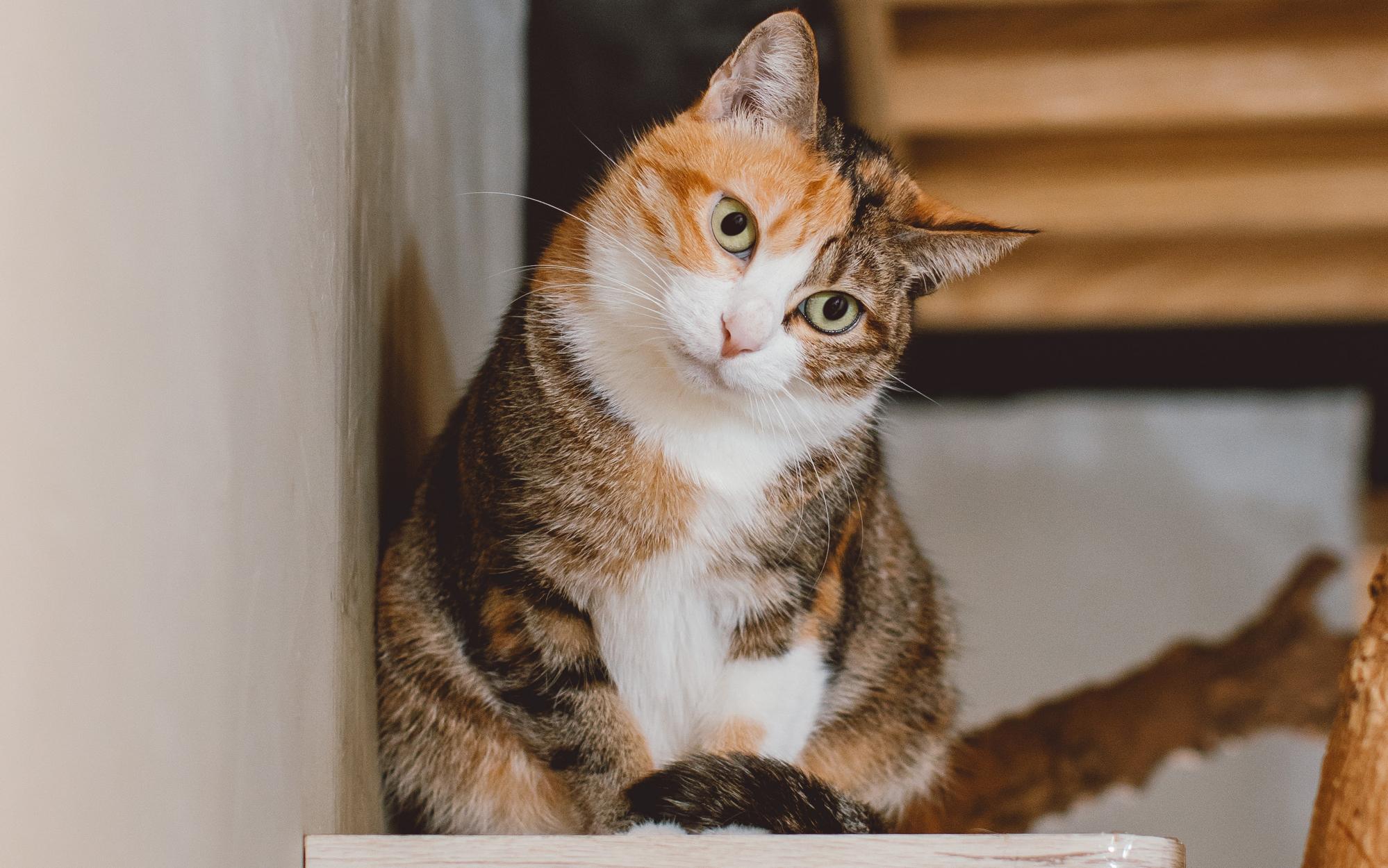 貓慢性腎病QA懶人包 | boehringer-ingelheim.tw