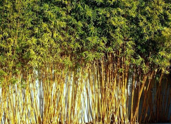 bambusa multiplex 'golden goddess'