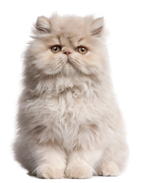 bigstock-Young-Persian-cat-sitting-in-f-13759892