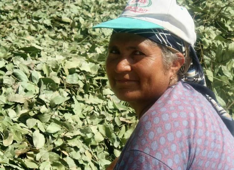 De landbouw van laurierbladeren