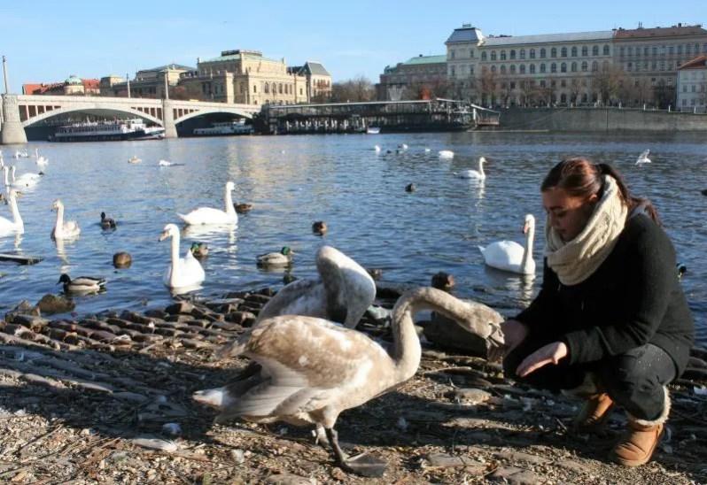 Zwanen voeren bij de Karelsbrug in Praag