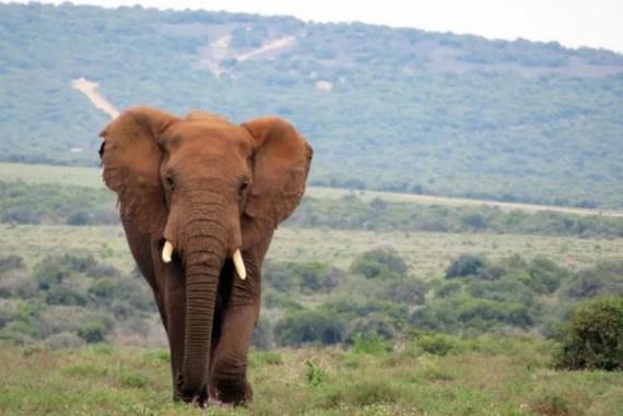 Een van de prachtige olifanten in Addo Elephant Park