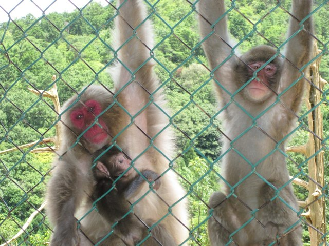 Arashiyama-Monkeys-22