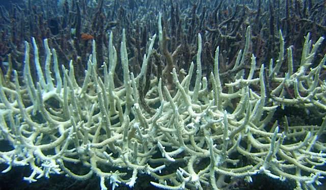 bleached coral.jpg