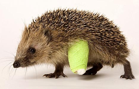 I Pix 2007 12 01 Hedgehogdm0412 468X301