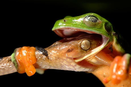 News 2008 10 Photogalleries Best-Animal-Wildlife-Photos Images Primary 4 Frog 461