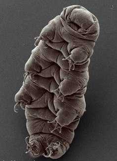 Photos Uncategorized 2008 09 08 Tardigrade3