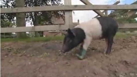 Pigbooottttt