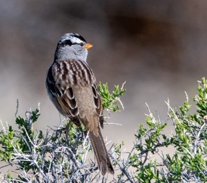 White-crowned Sparrow