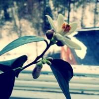 Mars - citrusen blommar