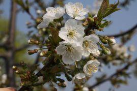 Kirschblüte im BOKU-Gemeinschaftsgarten