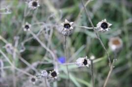 Samen für den Blühstreifen.