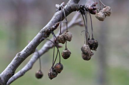 Kranke Äste sowie Frucht- bzw. Obstmumien entfernen, da diese Quelle für Pilzinfektionen sein können.