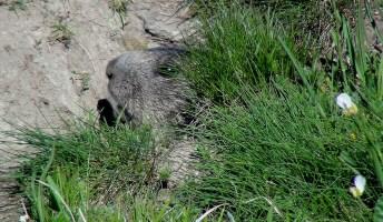Haïscope #2113 : Sifflets des marmottes