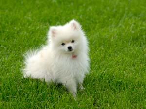 Pomeranian Hair Care Tips To Avoid Shedding