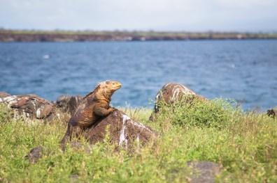 Land Iguanas, Seymore Norte, Galapagos